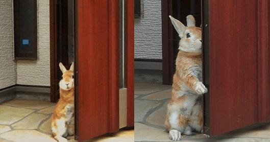 玄関までお見送りしてくれる史上最強にカワイイうさぎが見つかった!!!!! | netgeek