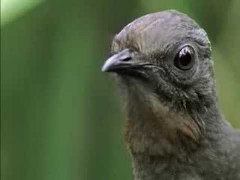 The Amazing Lyrebird of Australia - Unseen Footage - YouTube
