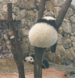 木には挟まったパンダの後ろ姿がかわいい