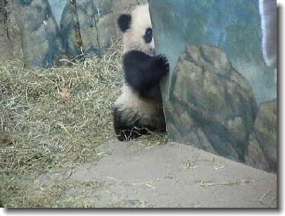 チラ見パンダがかわいすぎる