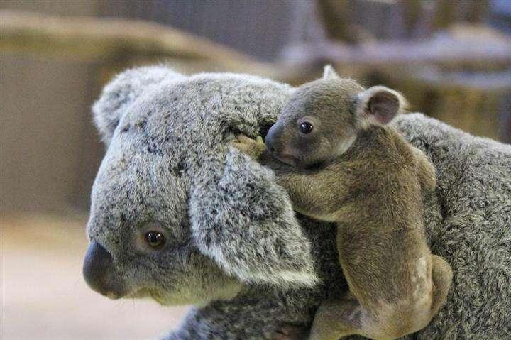 横浜の金沢動物園でコアラの赤ちゃん公開 愛称募集 横浜:イザ!