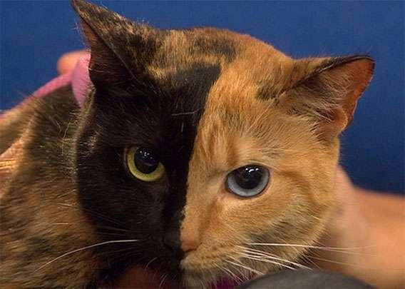 2つの顔を持つキメラな猫。顔半分がまったく違う柄の猫、ヴィーナスさんの謎に迫る : カラパイア