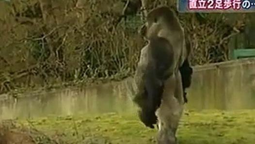 直立2足歩行のゴリラ、英の動物園 - Dailymotion動画