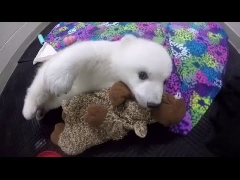 Polar Bear Cub Update – Week 12 - YouTube