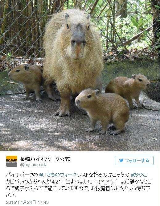 【めでたい】めちゃかわ! 九州・長崎バイオパークでカピバラの赤ちゃんが生まれたよ!! | Pouch[ポーチ]