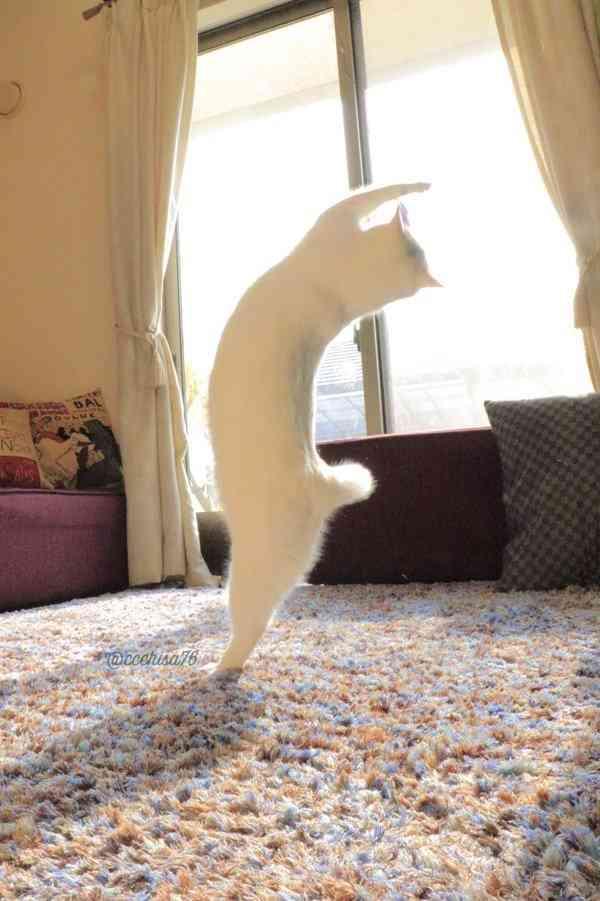【速報】うちの猫がバレエを踊り始めた