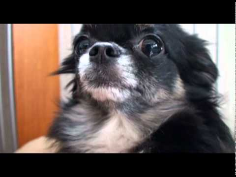 怒られて涙ポロンなチワワ  Chihuahua that sheds tears - YouTube