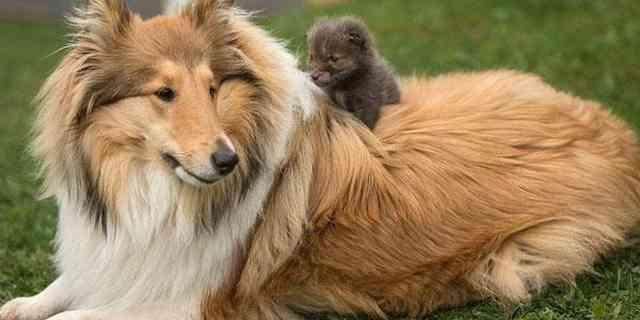 【ドイツ発】コリー犬に育てられている<子狐>が自分を犬だと思っている件 | エンタメウス