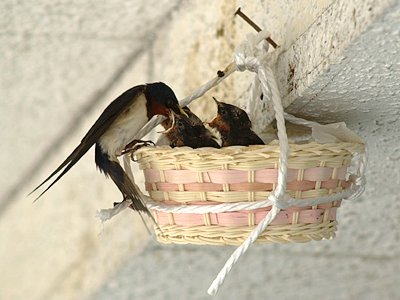 スズメ、ツバメ等の、巣づくりエピソード☆