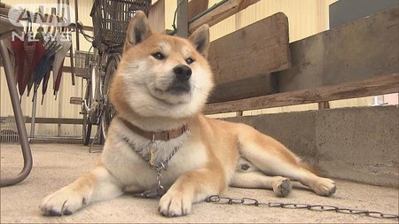 「夜桜お七」うたう柴犬、お手柄!飼い主ひっぱり…(テレビ朝日系(ANN)) - Yahoo!ニュース