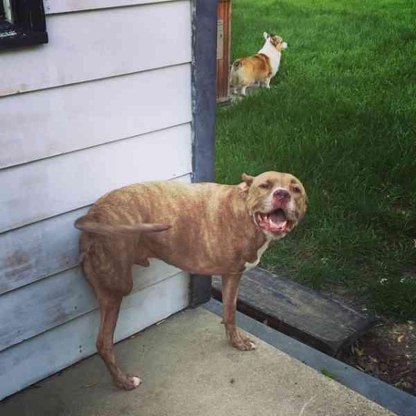 凶暴だという偏見で撃たれ、足を失った犬は本当は愛情深く優しい犬だった - Spotlight (スポットライト)