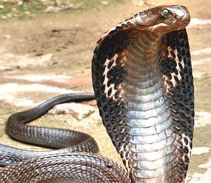 ステージで毒蛇に噛まれた女性歌手、解毒剤を断り死亡(インドネシア)
