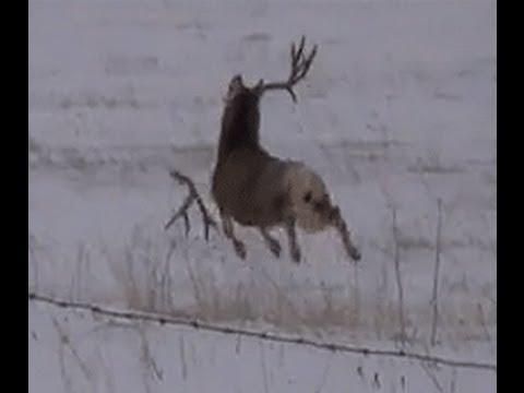 Mule deer buck with droptine shedding antlers on film! a must see! - YouTube