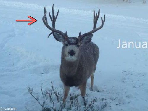 鹿の立派なツノが抜け落ちる瞬間を目撃した…撮影した!(動画):らばQ