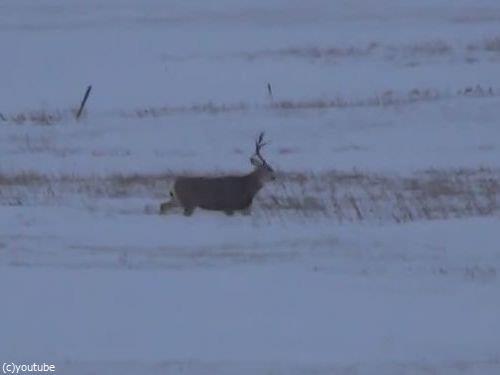 ポロッ。鹿の立派なツノが抜け落ちる瞬間を目撃!