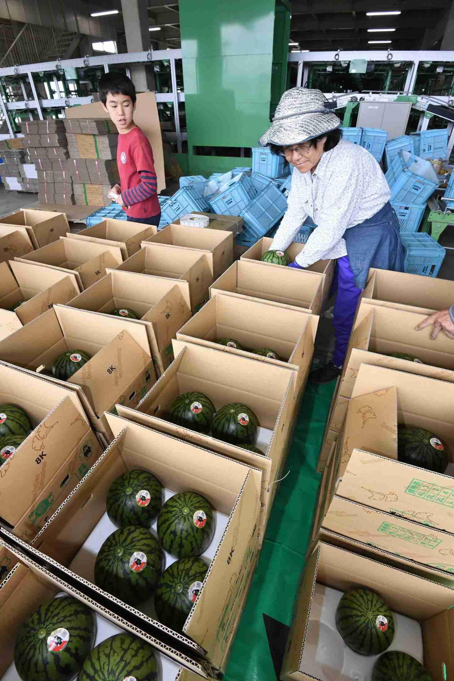 熊本地震 スイカ再開、励みに・・・ (日本農業新聞) - Yahoo!ニュース