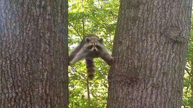 アライグマさんの多彩な行動をご覧ください。【画像4枚】 | ANIMALive