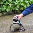 飼育係のおじさんにベタ惚れなペンギンが可愛くて不憫すぎる【種超越】 - NAVER まとめ