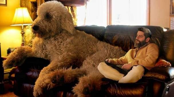 超巨大犬ゴールデンドゥードルを発見!こんなのデカイの見たことある? | ANIMALive