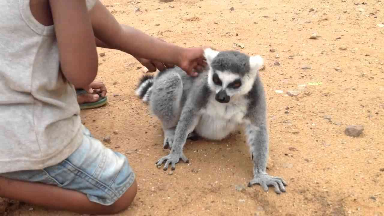 Kids Pet and Communicate with Lemur - YouTube