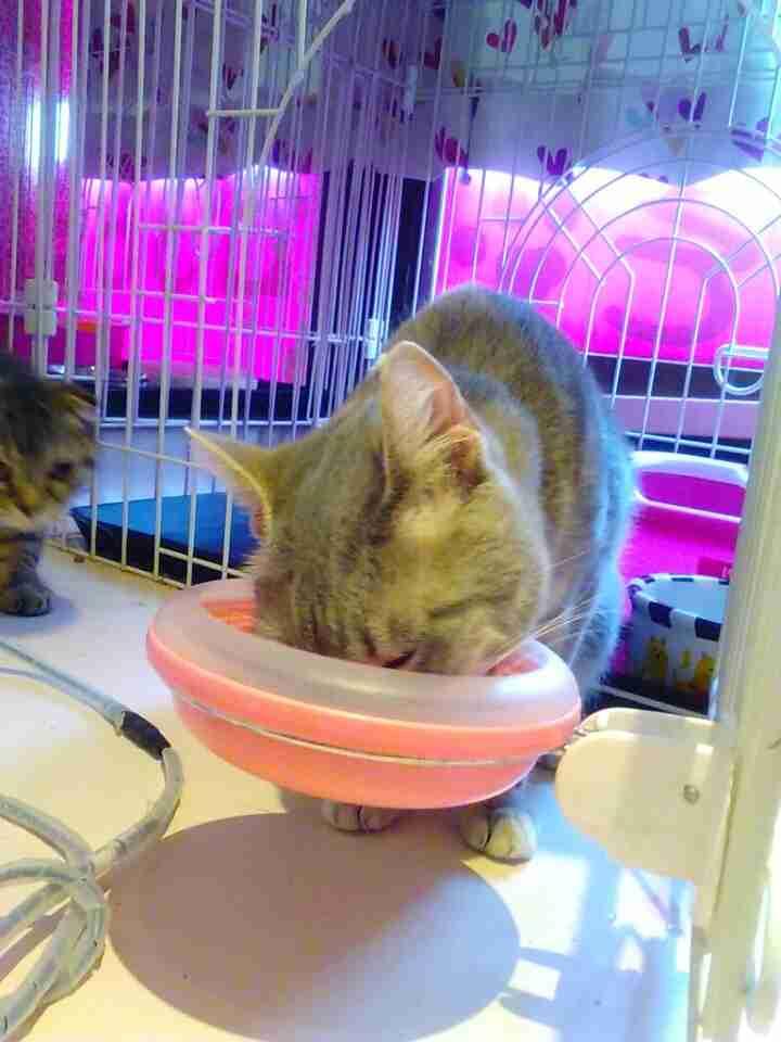休業中の錦糸町猫カフェ、『ねこのて』 休業中!錦糸町 ふれあい型 猫カフェ ねこのて