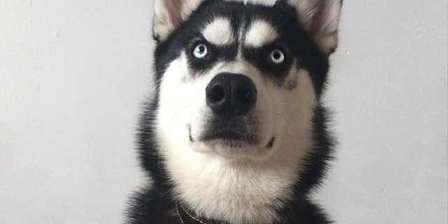 飼い主に裏切られてしまったハスキー犬の表情がスゴイことになっている件 | エンタメウス