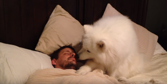 ゆるふんわり。サモエド犬の飼い主に対する起こし方がやさしすぎた : カラパイア