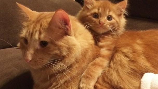 保護した茶トラ猫が先住猫にそっくり!本物の親子のように育てる様子にほっこり | ANIMALive