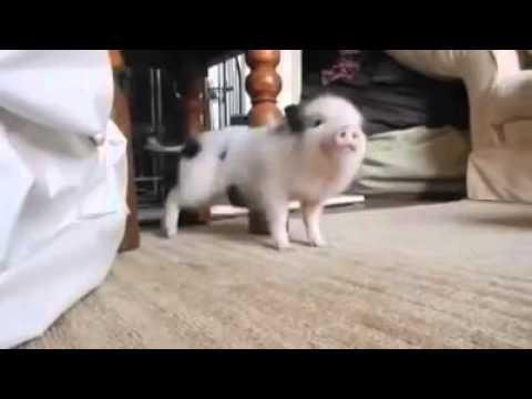 Little pig dancing 「Work」 - YouTube