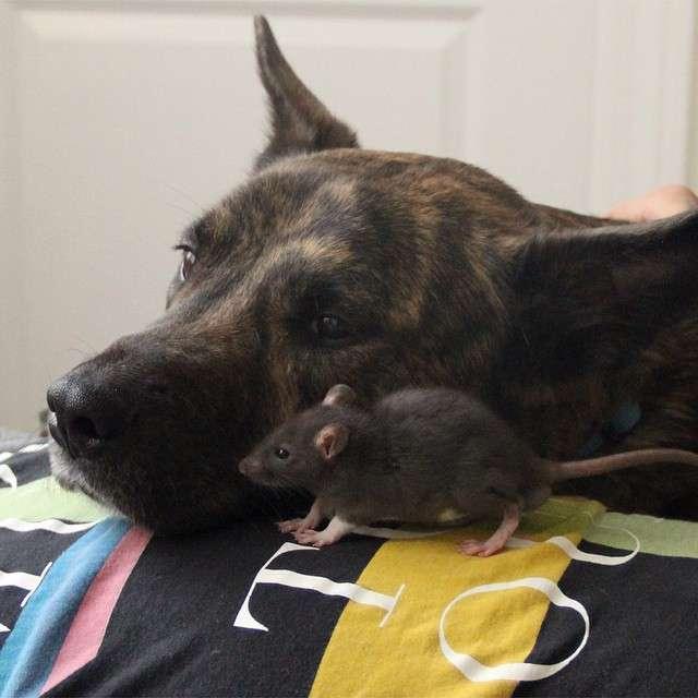 仲良しな犬のオシリスとネズミのリフが癒される(*´∀`*)