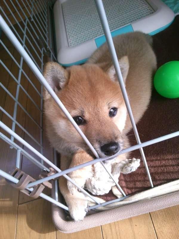 【画像】どうしてもストーブにあたりたい柴子犬が取った方法がたまらない