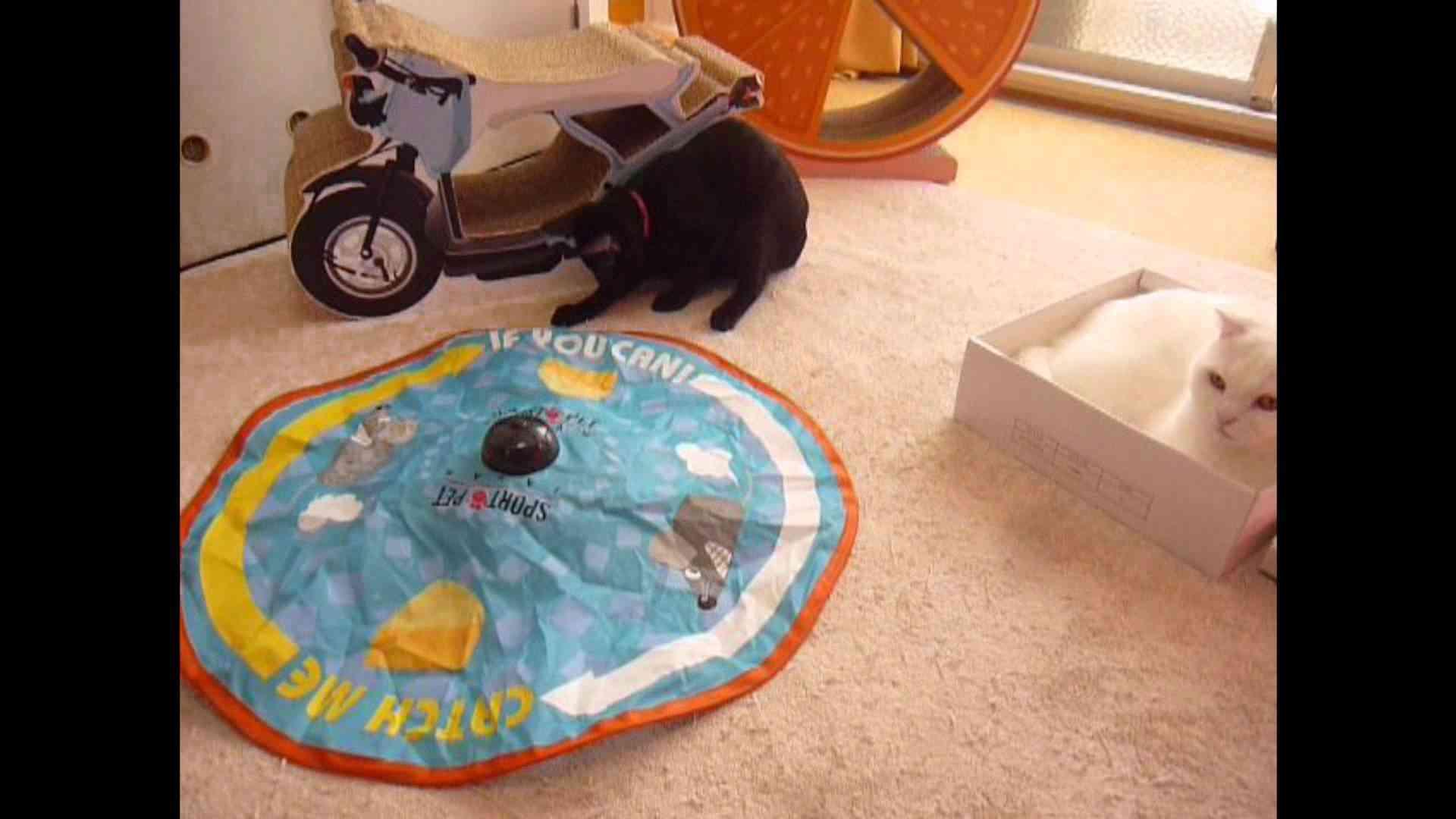 キャッチミーイフユーキャンで遊ぶ猫 - YouTube