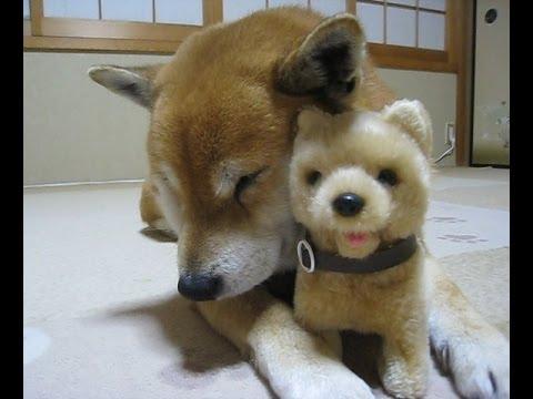 おもちゃの柴犬と、柴犬まめの友情物語 きっかけはマッサージ!?