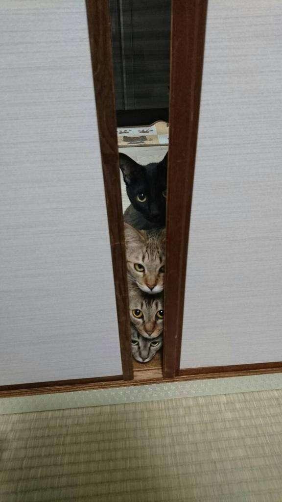 掃除機コワイのに見に行く猫たち…いつのまにか4段重ね完成!かわいい!   ANIMALive