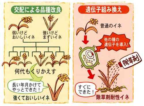 遺伝子組み換え作物は何が危ないの?