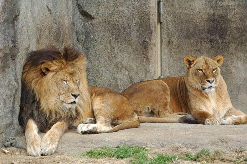 自殺図った男がライオン飼育場に侵入 → ライオン2頭は殺処分に