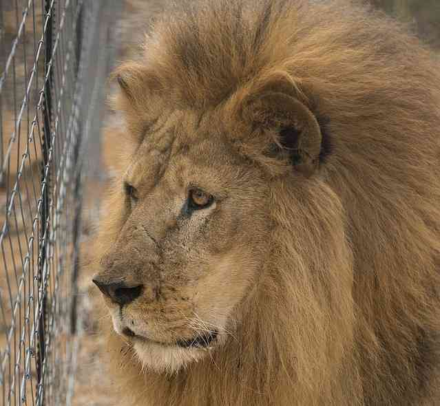 チリで自殺を図った男がライオン飼育場に侵入 やむを得ず2頭を殺処分 - ライブドアニュース