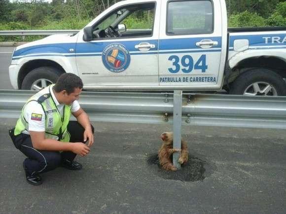 「ちょ、ちょっと休んでるだけなんだってば!」高速道路横のガードレールにしがみついたまま離れないナマケモノが連行される(エクアドル)