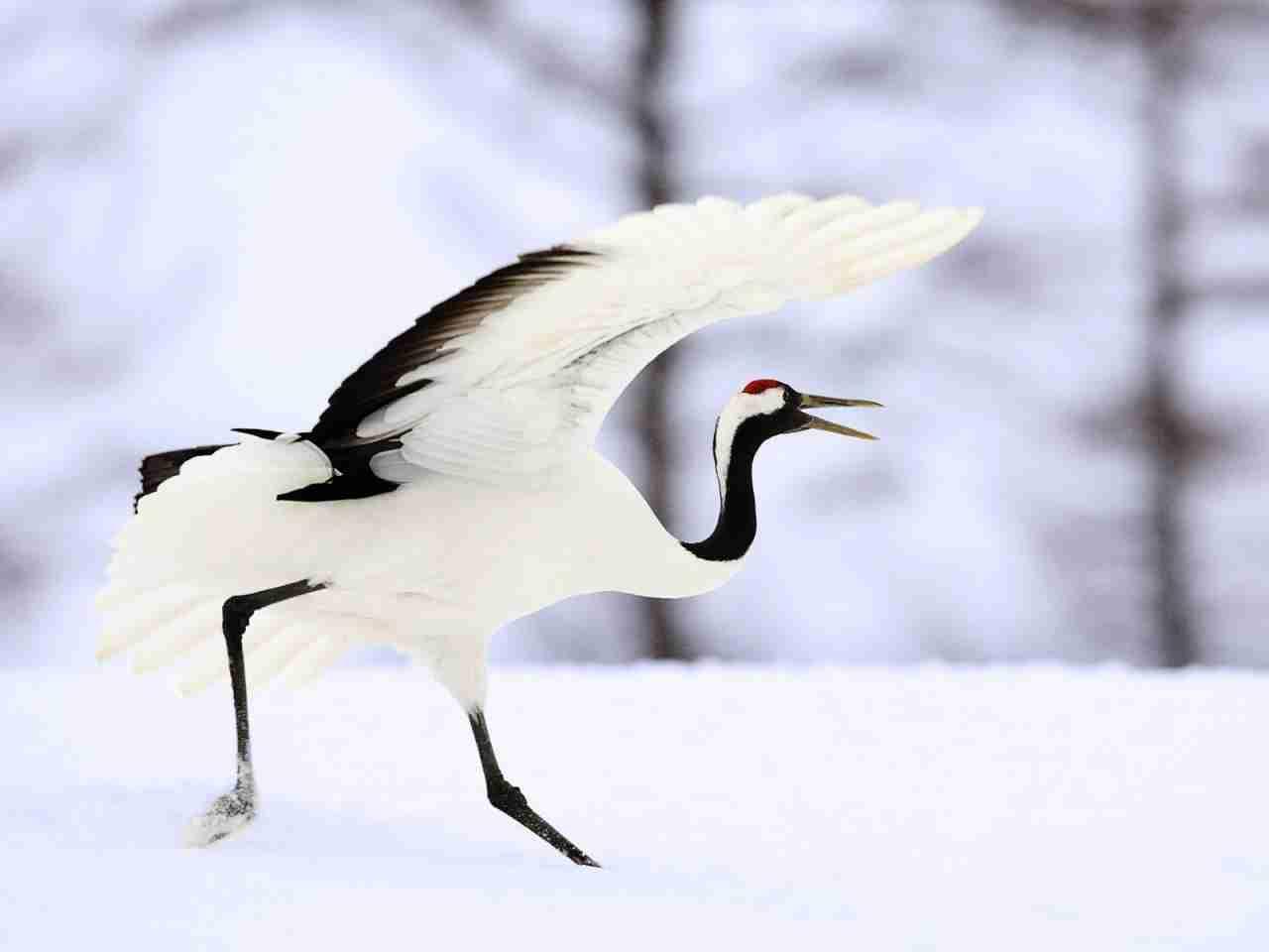鶴のダンスの動物画像