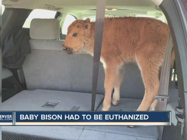 米公園で赤ちゃんバイソン安楽死、観光客の「善意」があだに