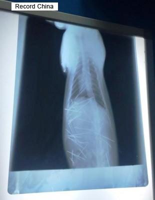中国で子猫の体内に針状の異物43本見つかる エアガンで打ち込まれたか - ライブドアニュース