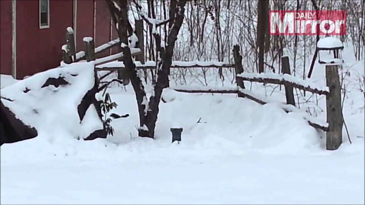 Watch squirrel drunk on fermented apples staggering home in the snow - YouTube