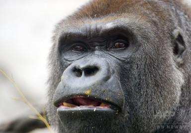 男児が囲いに落下、ゴリラを射殺 米動物園 写真1枚 国際ニュース:AFPBB News