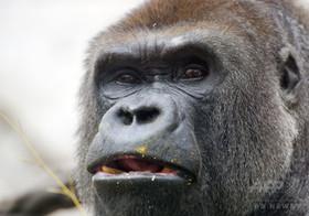 男児が囲いに落下、ゴリラを射殺…米動物園