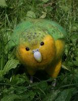 あなたは知ってる?幻の飛べない鳥「カカポ」は人間に恋する変な鳥 - NAVER まとめ