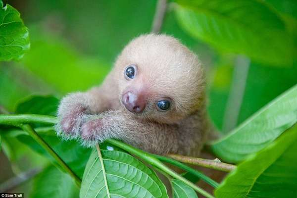 ナマケモノの赤ちゃんがあまりに可愛すぎるw
