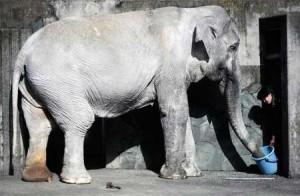 26日に死んだゾウのはな子「世界一かわいそうなゾウ」と言われた飼育環境  - ライブドアニュース