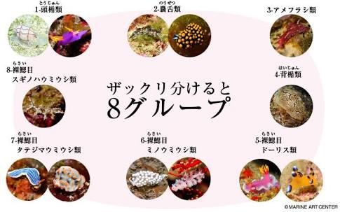 激レアなウミウシ「ヤマトメリベ」捕獲 兵庫・淡路島
