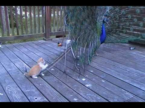 Kitten and His Best Friend Henry the peacock - YouTube