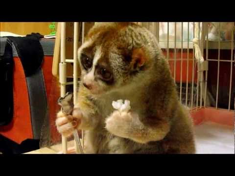 Slow Loris eating a Rice Ball - YouTube
